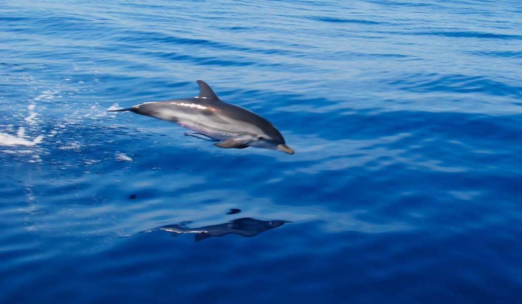 Dolphins flying out of the water.